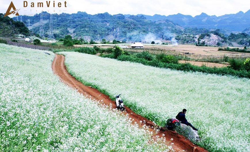 Hoa cải phủ trắng núi đồi bản Pa Phách