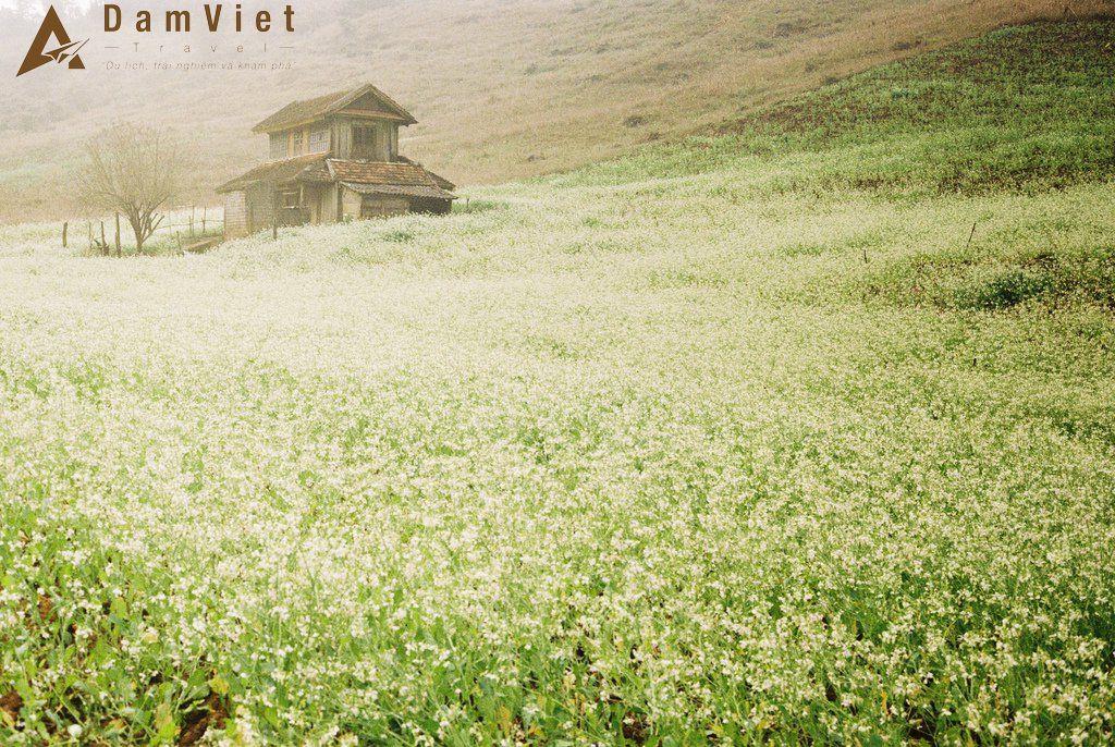 Hoa cải ở bản Thung Cuông