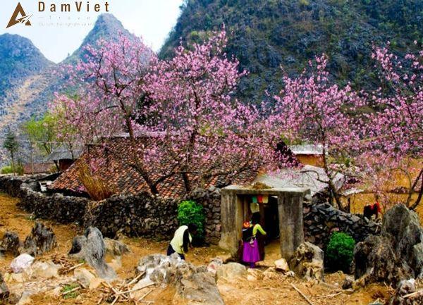 hoa đào trên Sapa