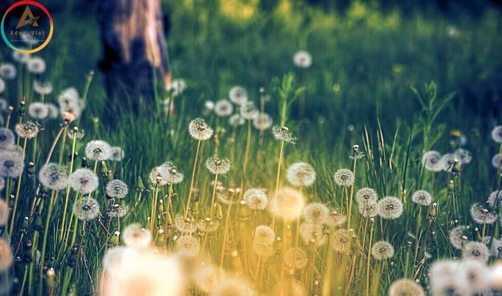 hoa Bồ Công Anh