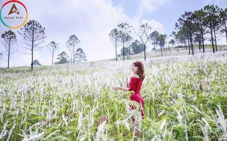 Hoa cỏ lau ở Đà Lạt