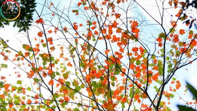 Lá Phong ở hồTuyền Lâm