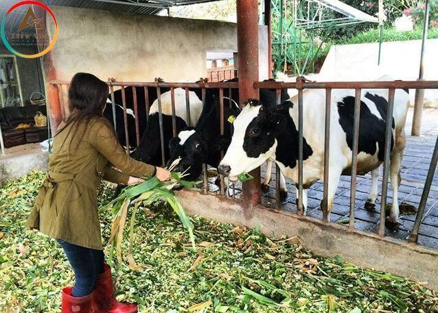 Da Lat Milk Farm