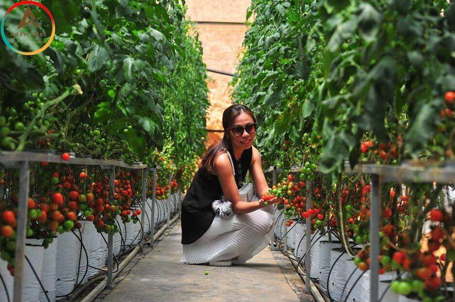 Vườn cà chua Nhật