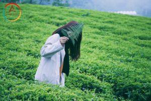 Vùng đất yên bình tại Đà Lạt – Đồi chè Cầu Đất