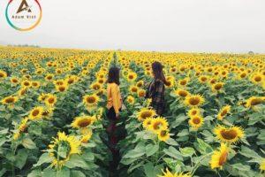 Top 10 cánh đồng hoa hướng dương rực rỡ nhất Việt Nam